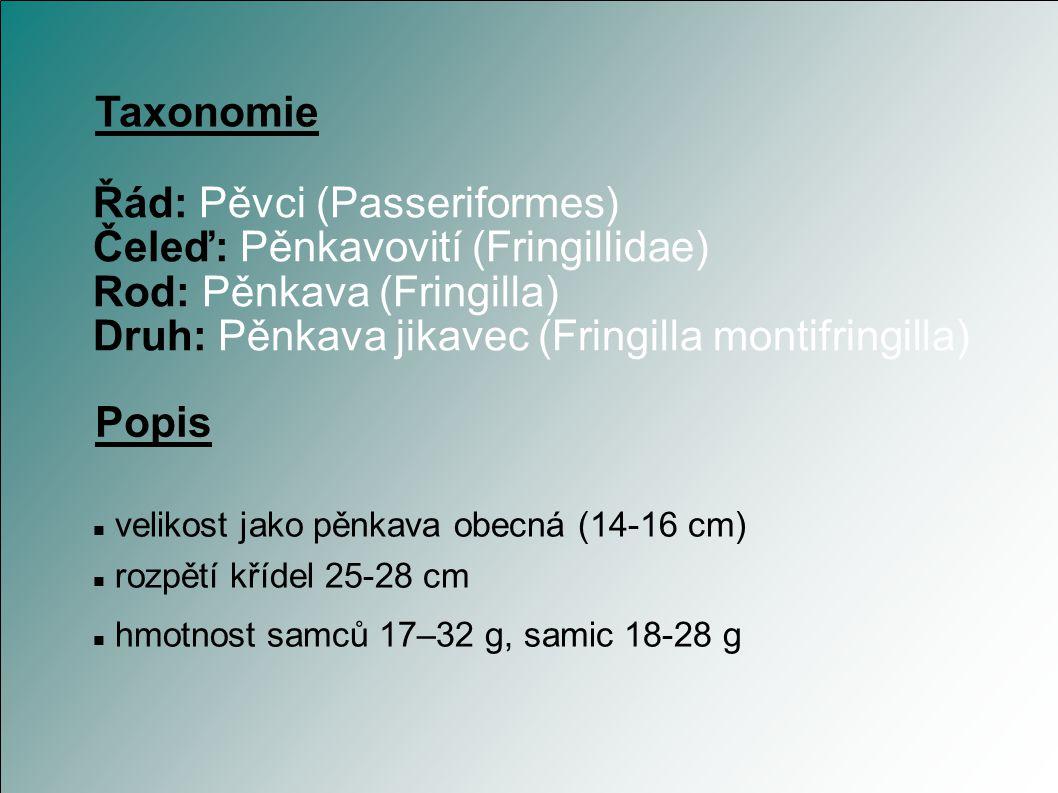 Pěnkava jikavec Autor: Tomáš P.