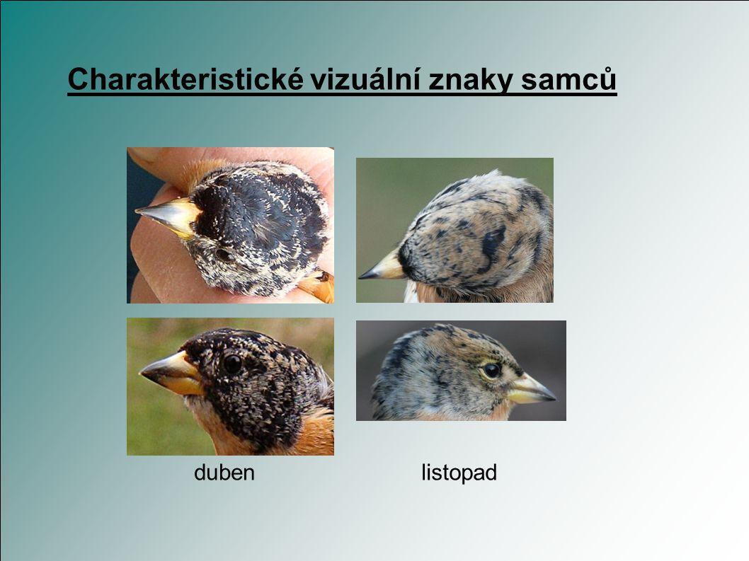 Charakteristické vizuální znaky samců oranžová hruď, horní část zad a pruhy na křídlech šedá až černá hlava bílý kostřec hlava zcela černá až na jaře,