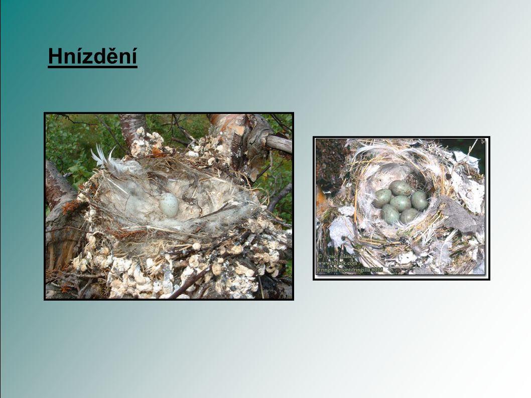 Hnízdění hnízdí od května do července hnízdo staví samička, 4-5 m nad zemí hnízdo bývá důkladnější než hnízdo pěnkavy obecné snůška obsahuje 5-7 vajec