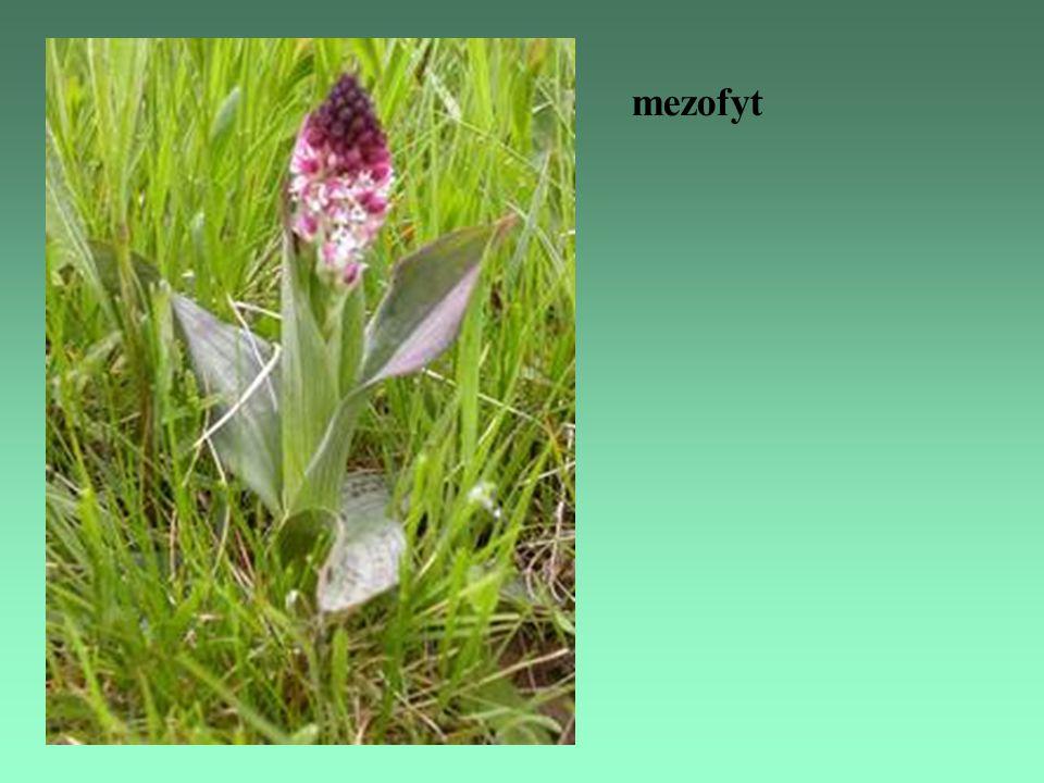 mezofyt
