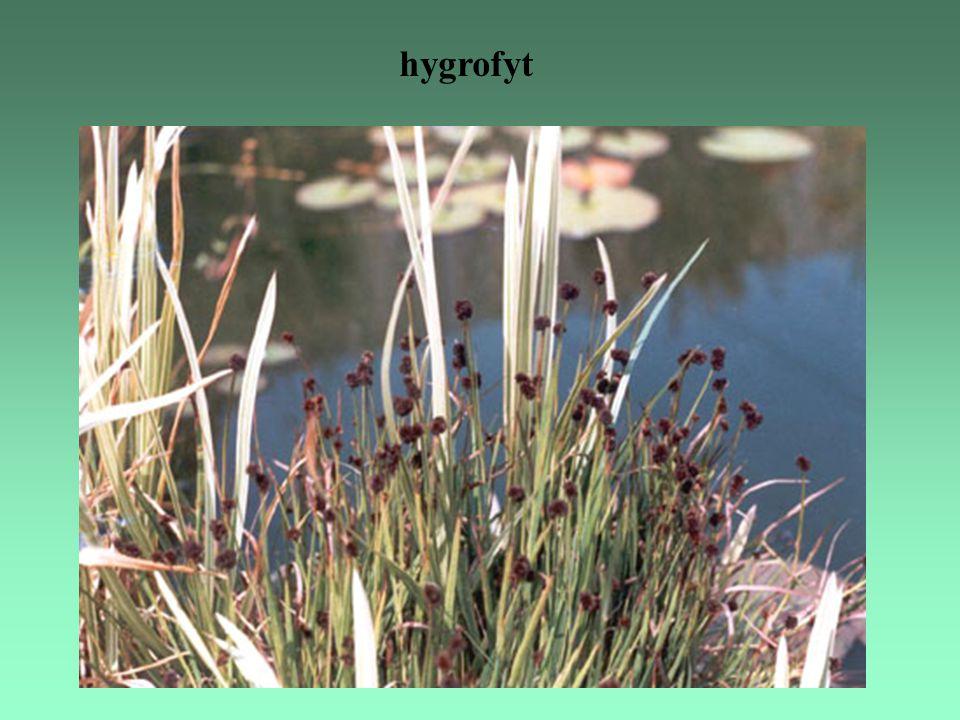 hygrofyt