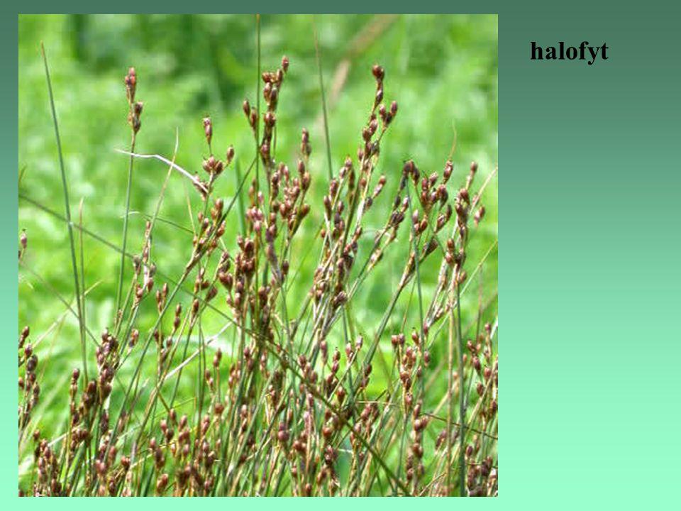 halofyt