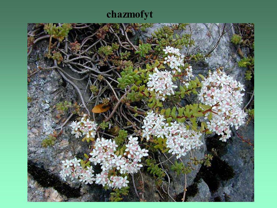 chazmofyt
