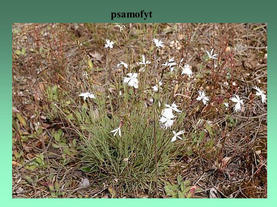 psamofyt