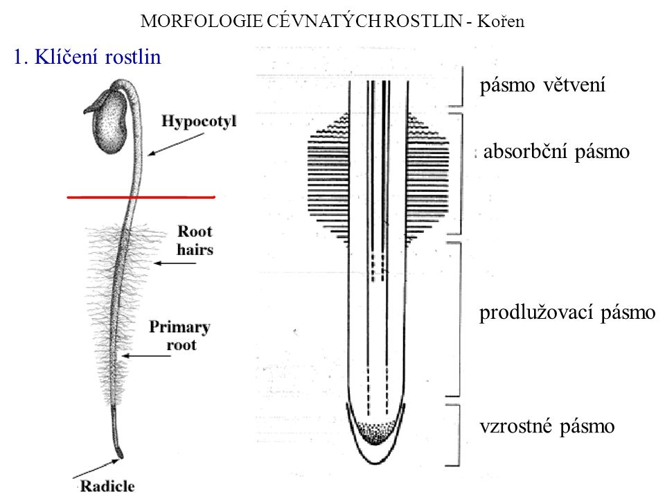 MORFOLOGIE CÉVNATÝCH ROSTLIN - Kořen 1.