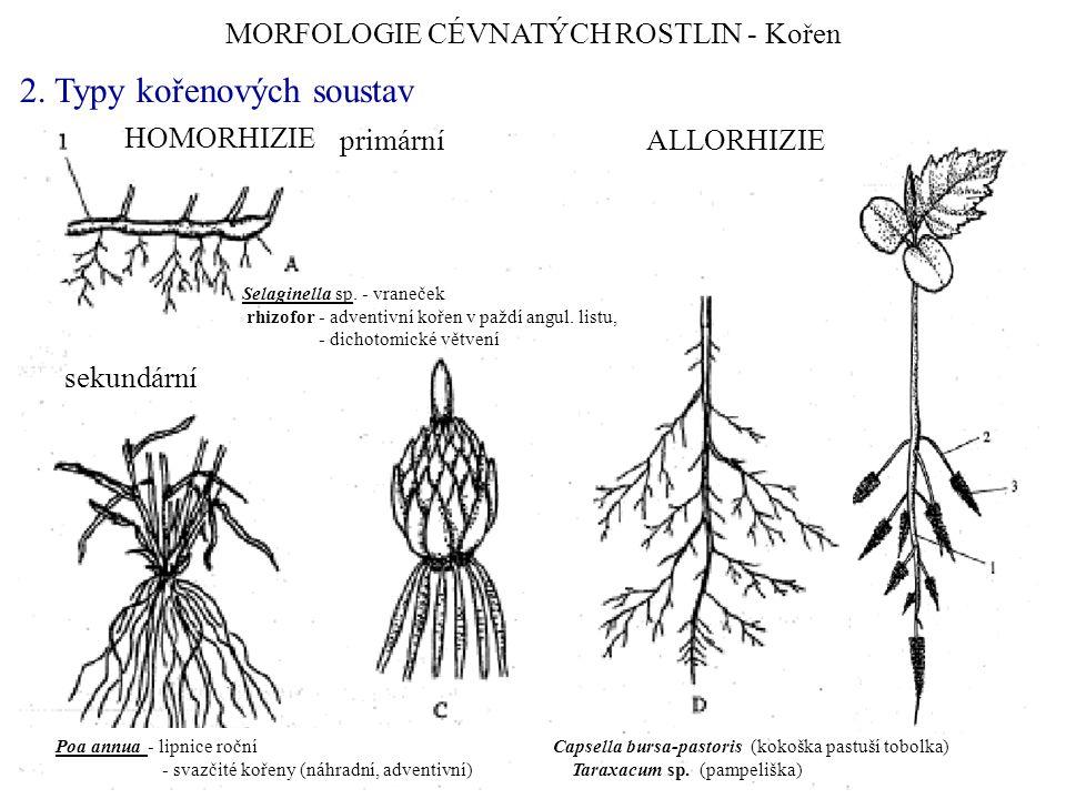 MORFOLOGIE CÉVNATÝCH ROSTLIN - Kořen 2.Typy kořenových soustav Salvinia sp.