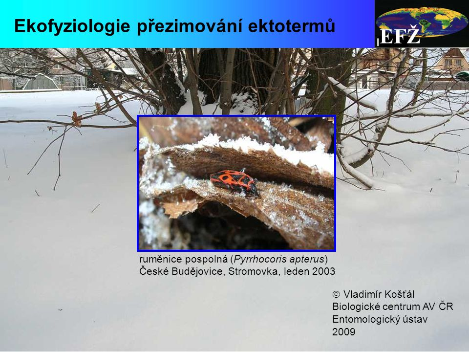 EFŽ biosyntéza kryoprotektantů probíhá hlavně již před zmrznutím (chladová aklimace) ale (pomalu) pokračuje i po zmrznutí  anaerobní metabolismus (hromadí se laktát) většina druhů se strategií promrznutí spoléhá buď na inokulaci ledem z vnějšího prostředí nebo na biosyntézu nukleátorů do hemolymfy nutnou podmínkou je rovněž odstranění všech nukleátorů zevntiř buněk snížení teploty vytvoření ledových krystalků v tělních tekutinách vede k osmotickému odsávání vody z buněk a tím k jejich dehydrataci a smršťování právě schopnost přežít dehydrataci (zakoncentrování solutů) a zároveň zmenšení objemu buňky je kritickou adaptací pro strategii promrznutí extra-cell.