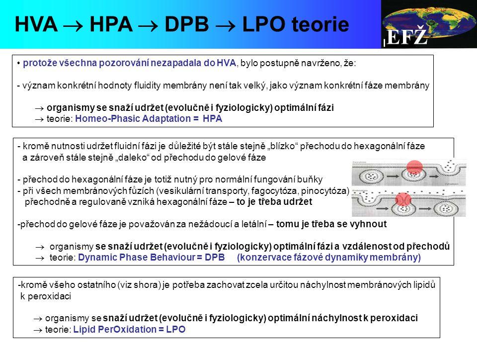 """EFŽ HVA  HPA  DPB  LPO teorie protože všechna pozorování nezapadala do HVA, bylo postupně navrženo, že: - význam konkrétní hodnoty fluidity membrány není tak velký, jako význam konkrétní fáze membrány  organismy se snaží udržet (evolučně i fyziologicky) optimální fázi  teorie: Homeo-Phasic Adaptation = HPA - kromě nutnosti udržet fluidní fázi je důležité být stále stejně """"blízko přechodu do hexagonální fáze a zároveň stále stejně """"daleko od přechodu do gelové fáze - přechod do hexagonální fáze je totiž nutný pro normální fungování buňky - při všech membránových fůzích (vesikulární transporty, fagocytóza, pinocytóza) přechodně a regulovaně vzniká hexagonální fáze – to je třeba udržet -přechod do gelové fáze je považován za nežádoucí a letální – tomu je třeba se vyhnout  organismy se snaží udržet (evolučně i fyziologicky) optimální fázi a vzdálenost od přechodů  teorie: Dynamic Phase Behaviour = DPB (konzervace fázové dynamiky membrány) -kromě všeho ostatního (viz shora) je potřeba zachovat zcela určitou náchylnost membránových lipidů k peroxidaci  organismy se snaží udržet (evolučně i fyziologicky) optimální náchylnost k peroxidaci  teorie: Lipid PerOxidation = LPO"""