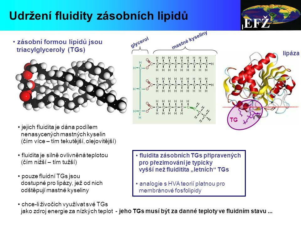 EFŽ Udržení fluidity zásobních lipidů zásobní formou lipidů jsou triacylglyceroly (TGs) jejich fluidita je dána podílem nenasycených mastných kyselin (čím více – tím tekutější, olejovitější) fluidita je silně ovlivněná teplotou (čím nižší – tím tužší) pouze fluidní TGs jsou dostupné pro lipázy, jež od nich odštěpují mastné kyseliny chce-li živočich využívat své TGs jako zdroj energie za nízkých teplot - jeho TGs musí být za danné teploty ve fluidním stavu...