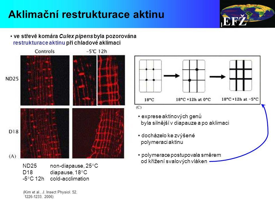 EFŽ ve střevě komára Culex pipens byla pozorována restrukturace aktinu při chladové aklimaci exprese aktinových genů byla silnější v diapauze a po aklimaci docházelo ke zvýšené polymeraci aktinu polymerace postupovala směrem od křížení svalových vláken Aklimační restrukturace aktinu (Kim et al., J.