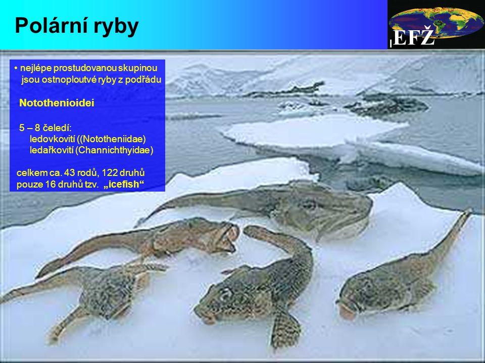 EFŽ Polární ryby nejlépe prostudovanou skupinou jsou ostnoploutvé ryby z podřádu Notothenioidei 5 – 8 čeledí: ledovkovití ((Nototheniidae) ledařkovití (Channichthyidae) celkem ca.
