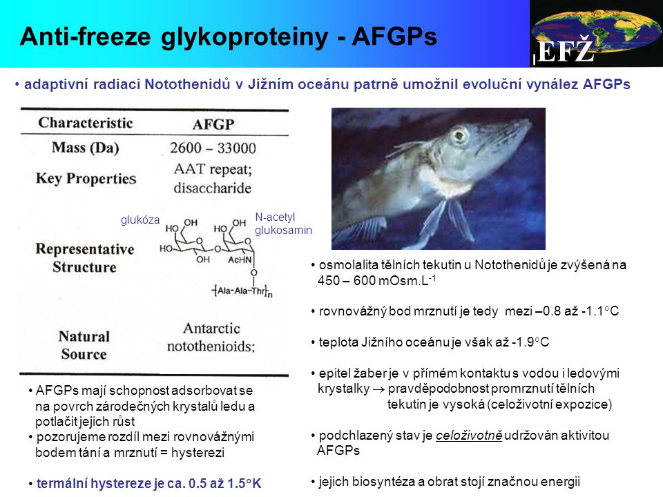 adaptivní radiaci Notothenidů v Jižním oceánu patrně umožnil evoluční vynález AFGPs EFŽ Anti-freeze glykoproteiny - AFGPs osmolalita tělních tekutin u Notothenidů je zvýšená na 450 – 600 mOsm.L -1 rovnovážný bod mrznutí je tedy mezi –0.8 až -1.1  C teplota Jižního oceánu je však až -1.9  C epitel žaber je v přímém kontaktu s vodou i ledovými krystalky  pravděpodobnost promrznutí tělních tekutin je vysoká (celoživotní expozice) podchlazený stav je celoživotně udržován aktivitou AFGPs jejich biosyntéza a obrat stojí značnou energii AFGPs mají schopnost adsorbovat se na povrch zárodečných krystalů ledu a potlačit jejich růst pozorujeme rozdíl mezi rovnovážnými bodem tání a mrznutí = hysterezi termální hystereze je ca.