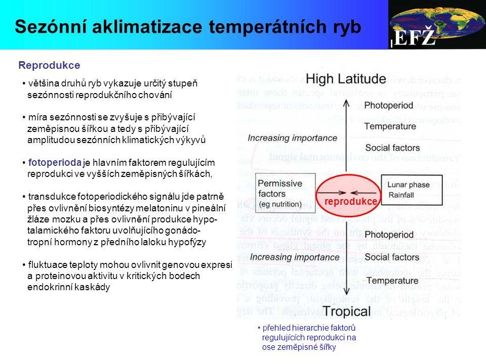 EFŽ Sezónní aklimatizace temperátních ryb Reprodukce většina druhů ryb vykazuje určitý stupeň sezónnosti reprodukčního chování míra sezónnosti se zvyšuje s přibývající zeměpisnou šířkou a tedy s přibývající amplitudou sezónních klimatických výkyvů fotoperioda je hlavním faktorem regulujícím reprodukci ve vyšších zeměpisných šířkách, transdukce fotoperiodického signálu jde patrně přes ovlivnění biosyntézy melatoninu v pineální žláze mozku a přes ovlivnění produkce hypo- talamického faktoru uvolňujícího gonádo- tropní hormony z předního laloku hypofýzy fluktuace teploty mohou ovlivnit genovou expresi a proteinovou aktivitu v kritických bodech endokrinní kaskády přehled hierarchie faktorů regulujících reprodukci na ose zeměpisné šířky reprodukce