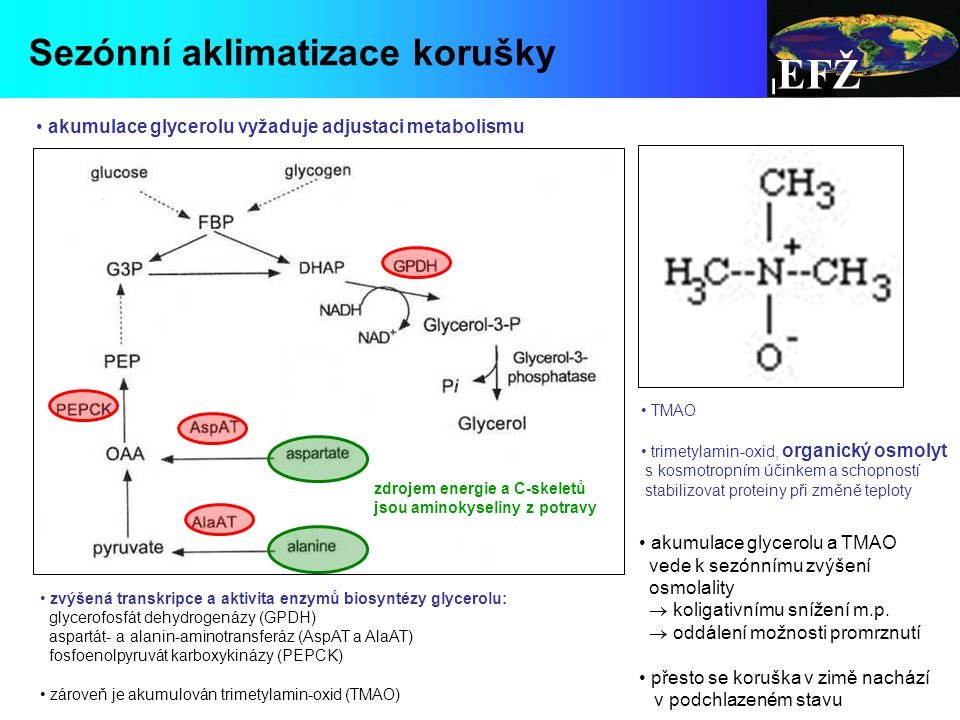 EFŽ Sezónní aklimatizace korušky zvýšená transkripce a aktivita enzymů biosyntézy glycerolu: glycerofosfát dehydrogenázy (GPDH) aspartát- a alanin-aminotransferáz (AspAT a AlaAT) fosfoenolpyruvát karboxykinázy (PEPCK) zároveň je akumulován trimetylamin-oxid (TMAO) TMAO trimetylamin-oxid, organický osmolyt s kosmotropním účinkem a schopností stabilizovat proteiny při změně teploty akumulace glycerolu vyžaduje adjustaci metabolismu akumulace glycerolu a TMAO vede k sezónnímu zvýšení osmolality  koligativnímu snížení m.p.