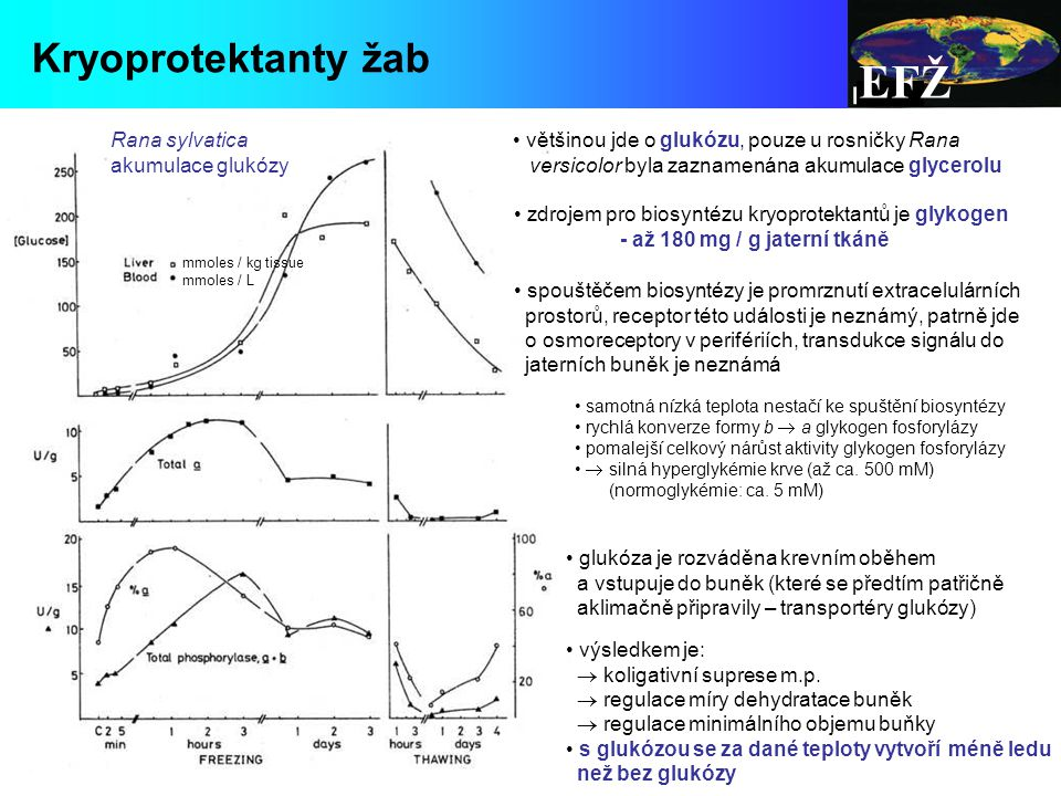 zdrojem pro biosyntézu kryoprotektantů je glykogen - až 180 mg / g jaterní tkáně samotná nízká teplota nestačí ke spuštění biosyntézy rychlá konverze formy b  a glykogen fosforylázy pomalejší celkový nárůst aktivity glykogen fosforylázy  silná hyperglykémie krve (až ca.