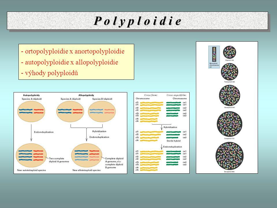 - ortopolyploidie x anortopolyploidie - autopolyploidie x allopolyploidie - výhody polyploidů P o l y p l o i d i e