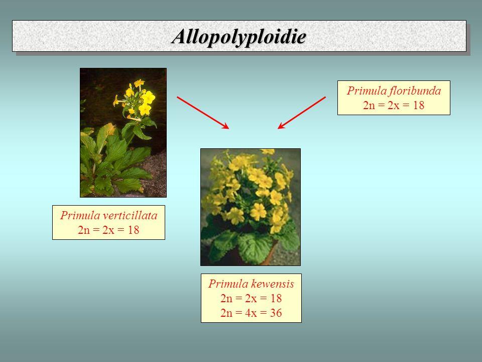 Primula verticillata 2n = 2x = 18 Primula floribunda 2n = 2x = 18 Primula kewensis 2n = 2x = 18 2n = 4x = 36 Allopolyploidie - Primula Allopolyploidie