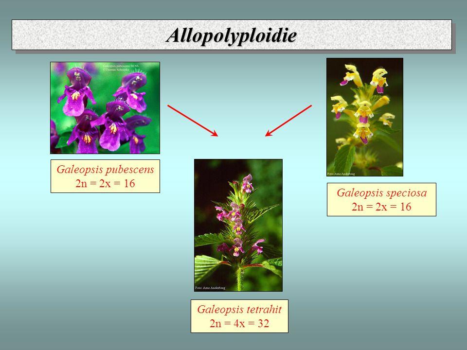 Galeopsis pubescens 2n = 2x = 16 Galeopsis speciosa 2n = 2x = 16 Galeopsis tetrahit 2n = 4x = 32 AllopolyploidieAllopolyploidie