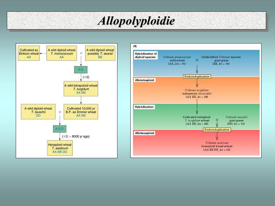 AllopolyploidieAllopolyploidie