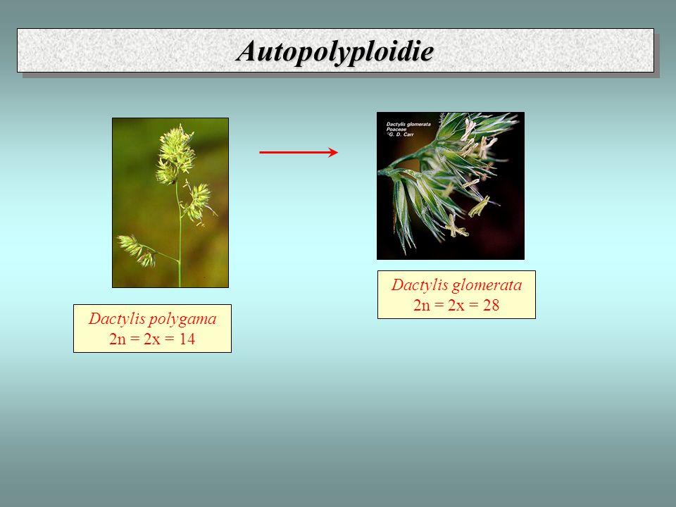 Dactylis polygama 2n = 2x = 14 Dactylis glomerata 2n = 2x = 28 AutopolyploidieAutopolyploidie
