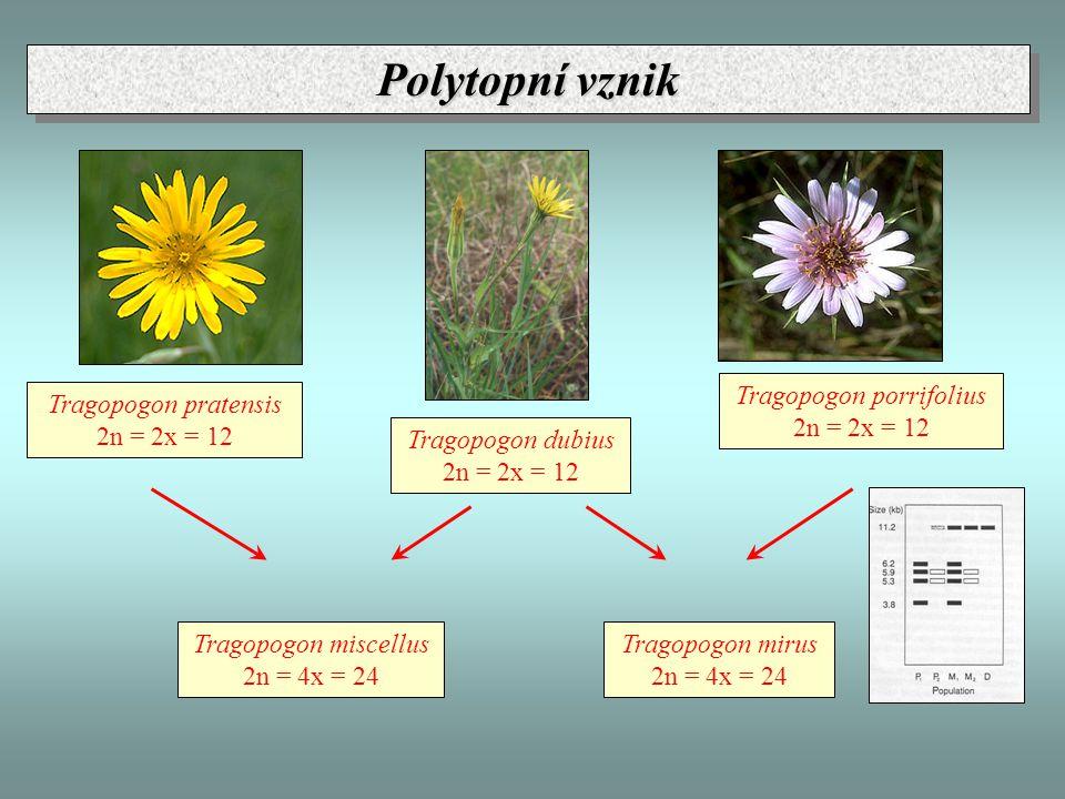 Tragopogon dubius 2n = 2x = 12 Tragopogon porrifolius 2n = 2x = 12 Tragopogon pratensis 2n = 2x = 12 Tragopogon miscellus 2n = 4x = 24 Tragopogon mirus 2n = 4x = 24 Polytopní vznik