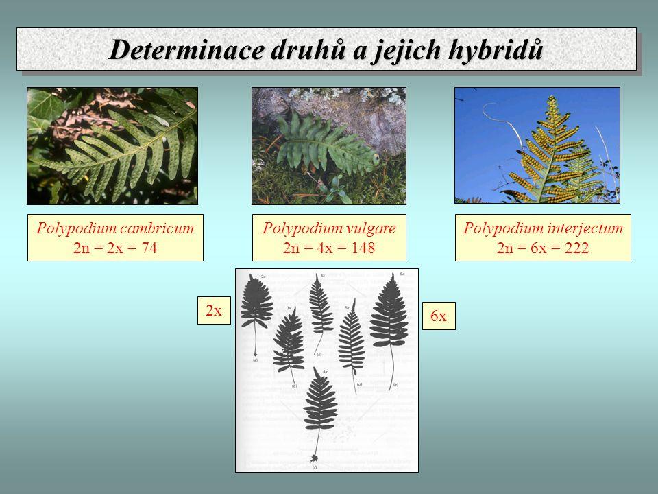 Polypodium cambricum 2n = 2x = 74 Polypodium interjectum 2n = 6x = 222 Polypodium vulgare 2n = 4x = 148 2x 6x Determinace druhů a jejich hybridů