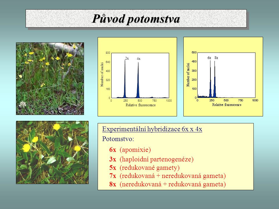 Experimentální hybridizace 6x x 4x Potomstvo: 6x (apomixie) 3x (haploidní partenogenéze) 5x (redukované gamety) 7x (redukovaná + neredukovaná gameta)