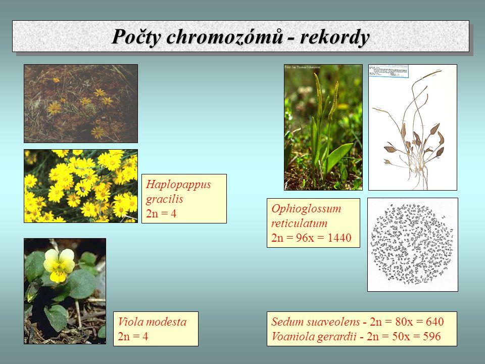 Haplopappus gracilis 2n = 4 Viola modesta 2n = 4 Ophioglossum reticulatum 2n = 96x = 1440 Sedum suaveolens - 2n = 80x = 640 Voaniola gerardii - 2n = 50x = 596 Počty chromozómů - rekordy
