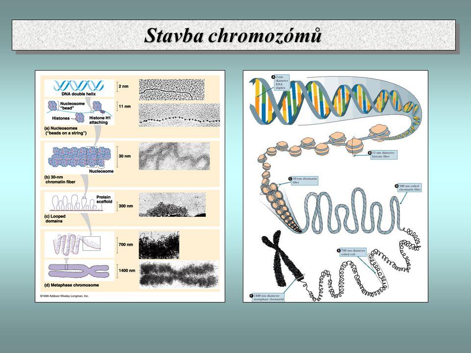 Stavba chromozómů
