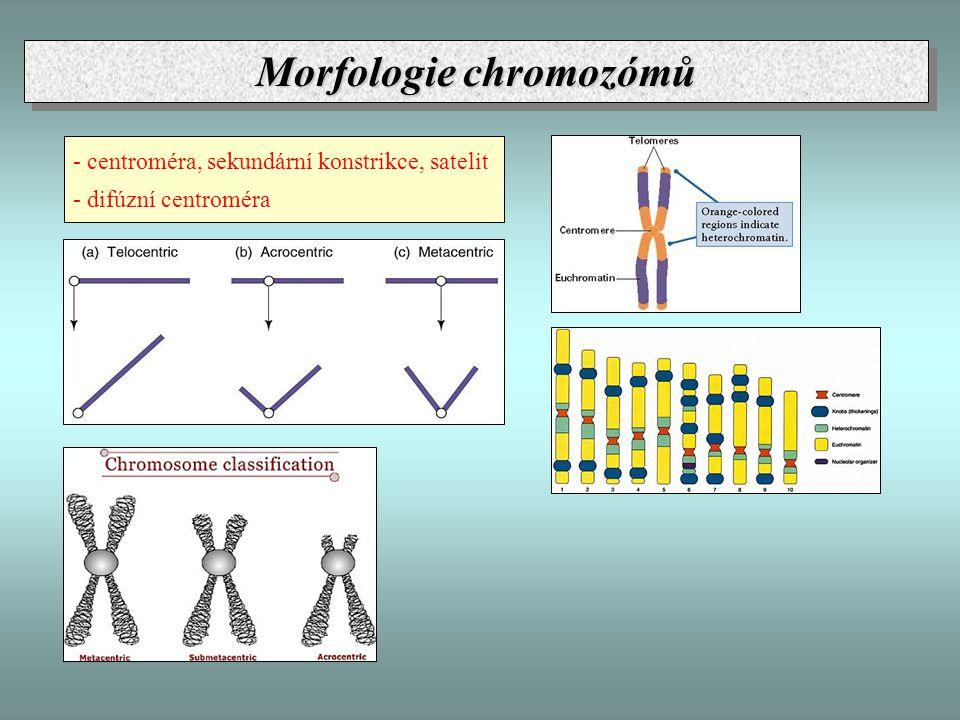 - centroméra, sekundární konstrikce, satelit - difúzní centroméra Morfologie chromozómů