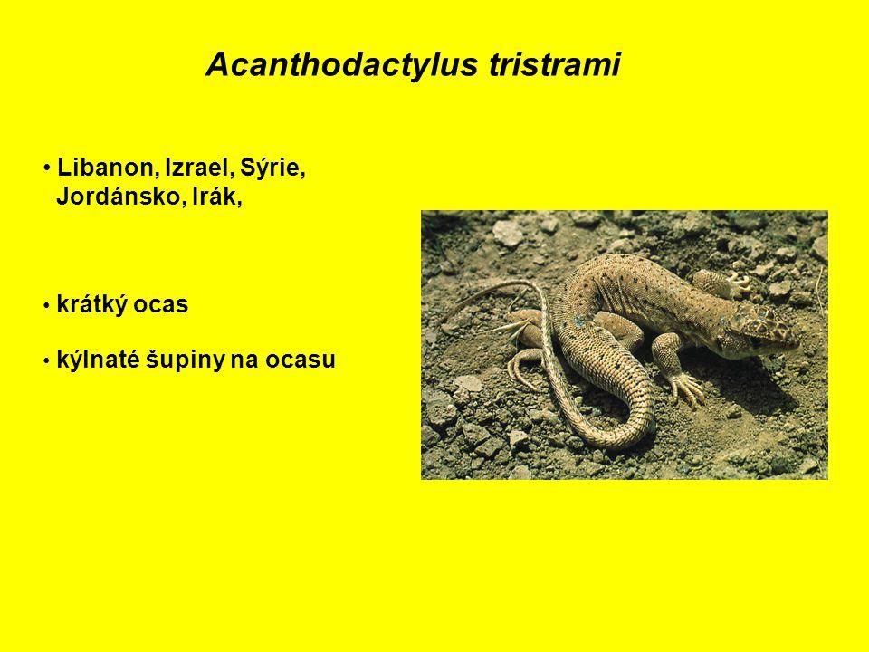 Acanthodactylus tristrami Libanon, Izrael, Sýrie, Jordánsko, Irák, krátký ocas kýlnaté šupiny na ocasu