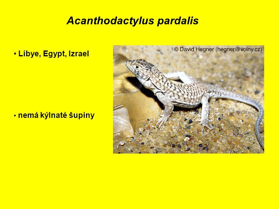 Acanthodactylus pardalis Libye, Egypt, Izrael nemá kýlnaté šupiny