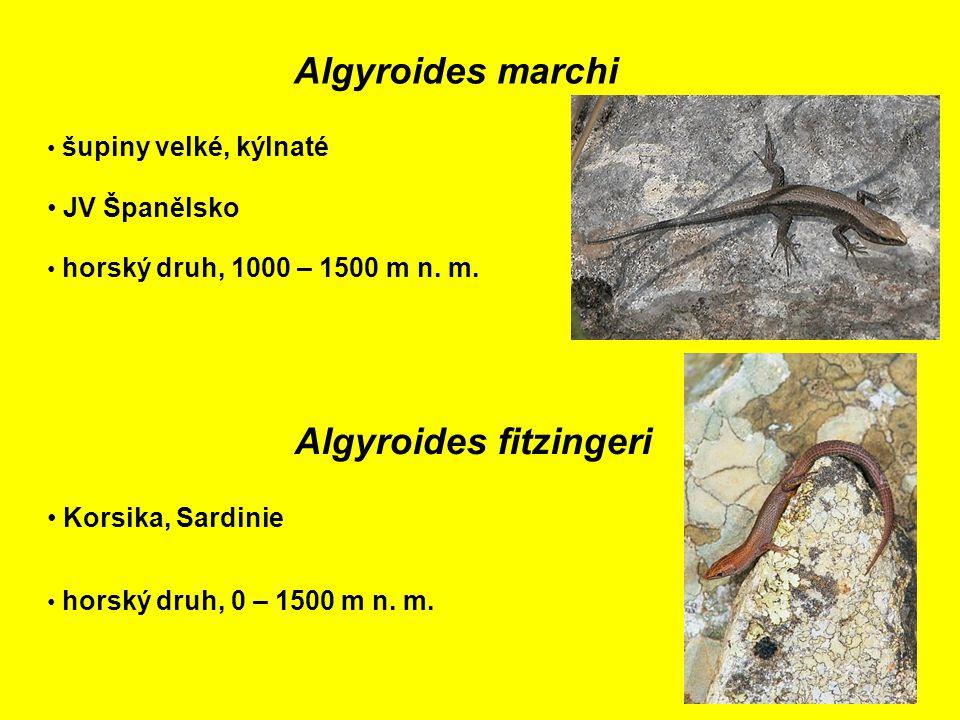 Algyroides marchi JV Španělsko šupiny velké, kýlnaté horský druh, 1000 – 1500 m n.