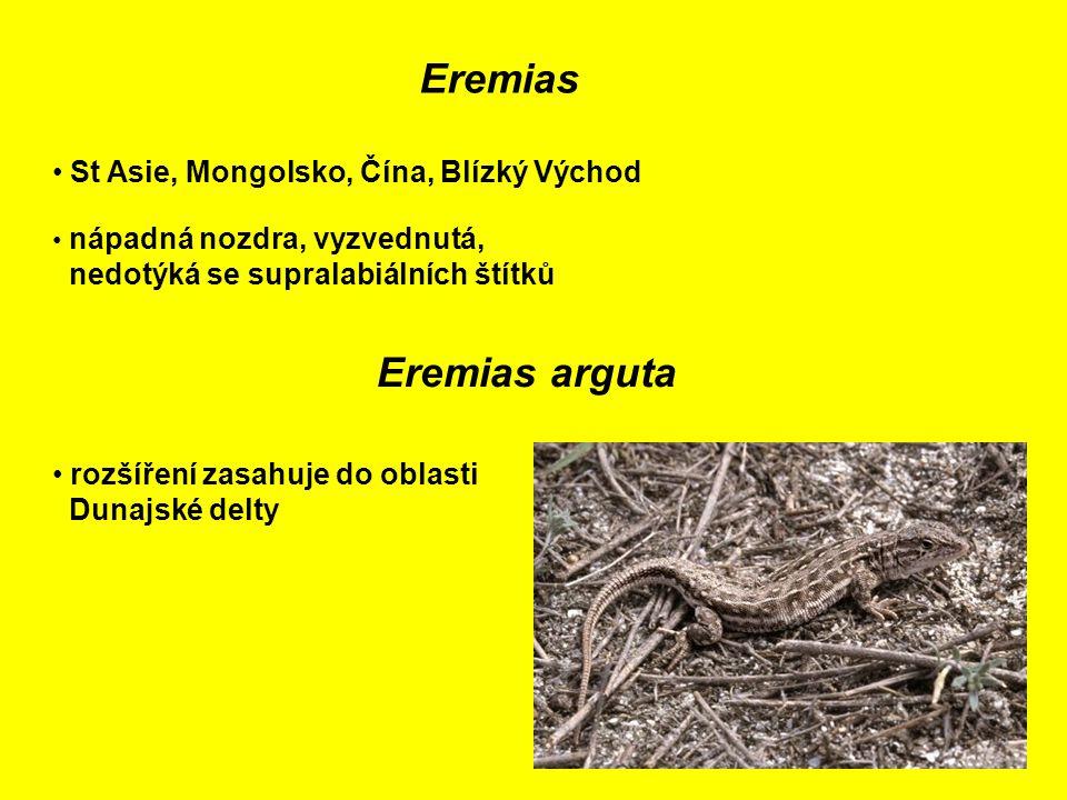 Eremias St Asie, Mongolsko, Čína, Blízký Východ nápadná nozdra, vyzvednutá, nedotýká se supralabiálních štítků Eremias arguta rozšíření zasahuje do oblasti Dunajské delty