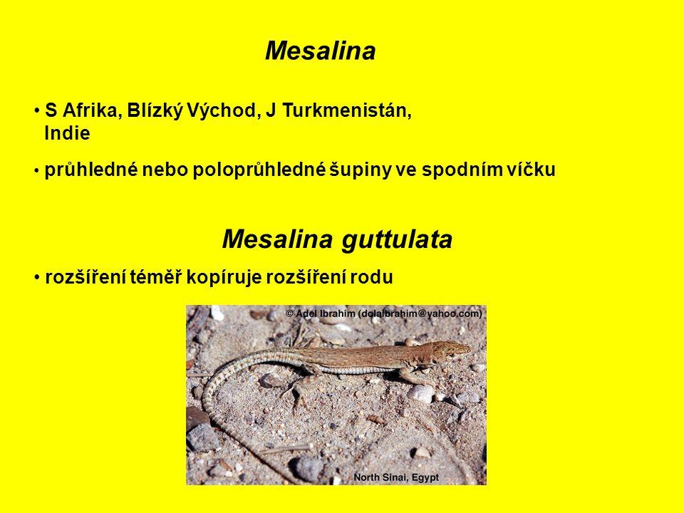 Mesalina S Afrika, Blízký Východ, J Turkmenistán, Indie průhledné nebo poloprůhledné šupiny ve spodním víčku Mesalina guttulata rozšíření téměř kopíruje rozšíření rodu