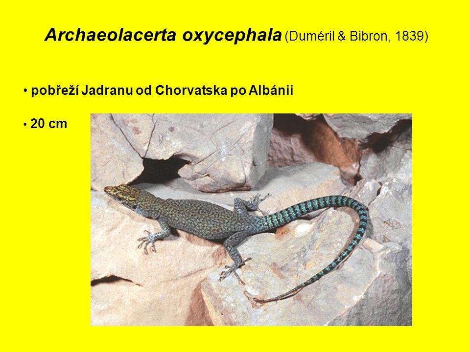 Archaeolacerta oxycephala (Duméril & Bibron, 1839) pobřeží Jadranu od Chorvatska po Albánii 20 cm