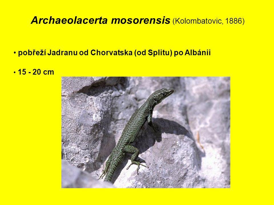 Archaeolacerta mosorensis (Kolombatovic, 1886) pobřeží Jadranu od Chorvatska (od Splitu) po Albánii 15 - 20 cm
