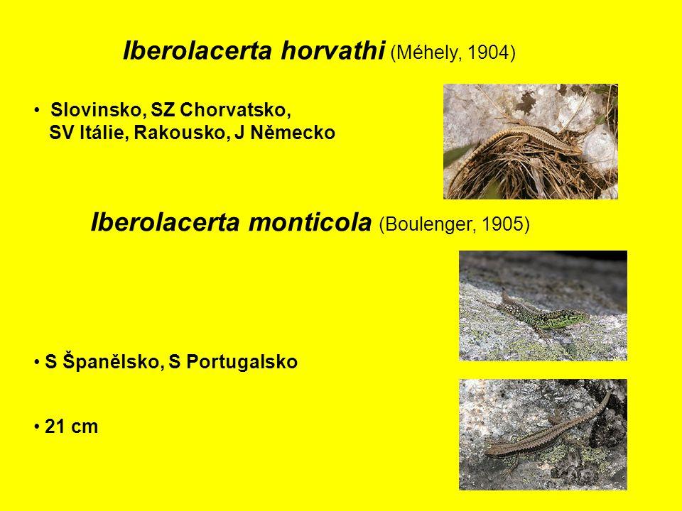 Iberolacerta horvathi (Méhely, 1904) Slovinsko, SZ Chorvatsko, SV Itálie, Rakousko, J Německo Iberolacerta monticola (Boulenger, 1905) S Španělsko, S Portugalsko 21 cm