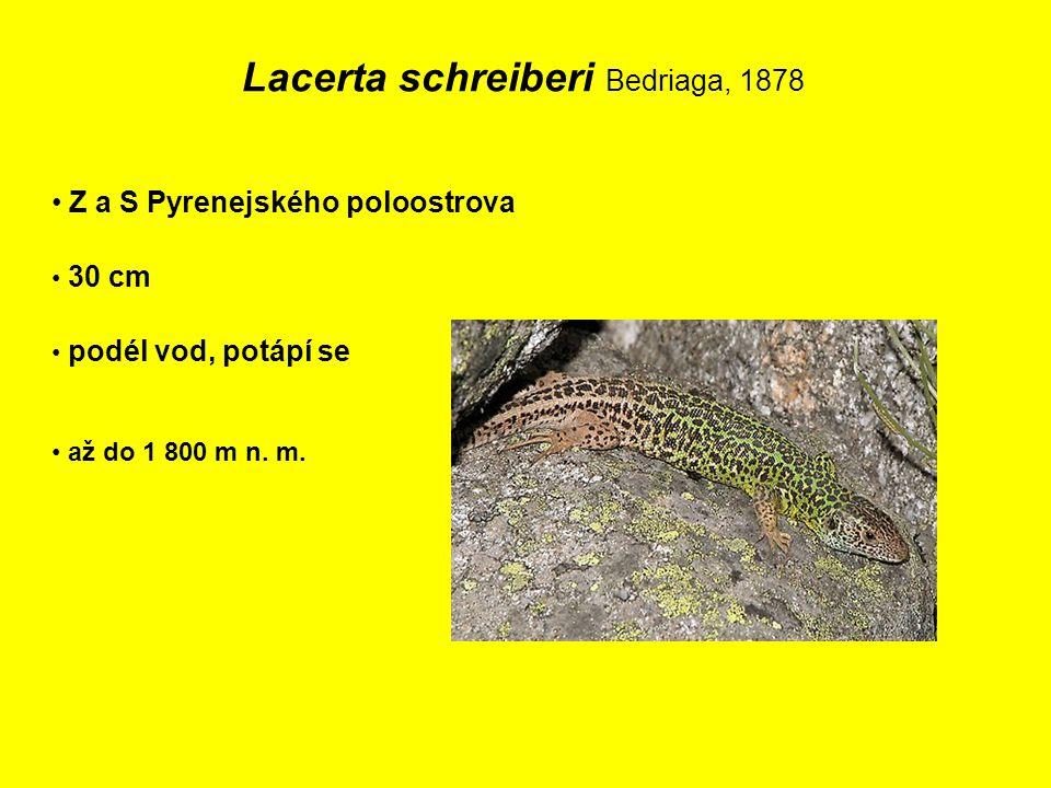 Lacerta schreiberi Bedriaga, 1878 Z a S Pyrenejského poloostrova 30 cm podél vod, potápí se až do 1 800 m n.