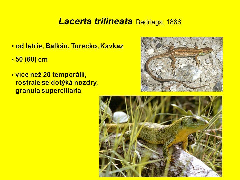 Lacerta trilineata Bedriaga, 1886 od Istrie, Balkán, Turecko, Kavkaz 50 (60) cm více než 20 temporálií, rostrale se dotýká nozdry, granula superciliaria