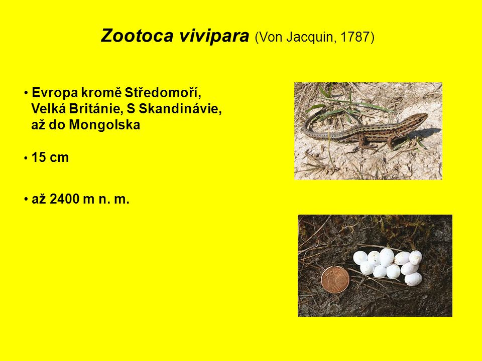 Zootoca vivipara (Von Jacquin, 1787) Evropa kromě Středomoří, Velká Británie, S Skandinávie, až do Mongolska 15 cm až 2400 m n.
