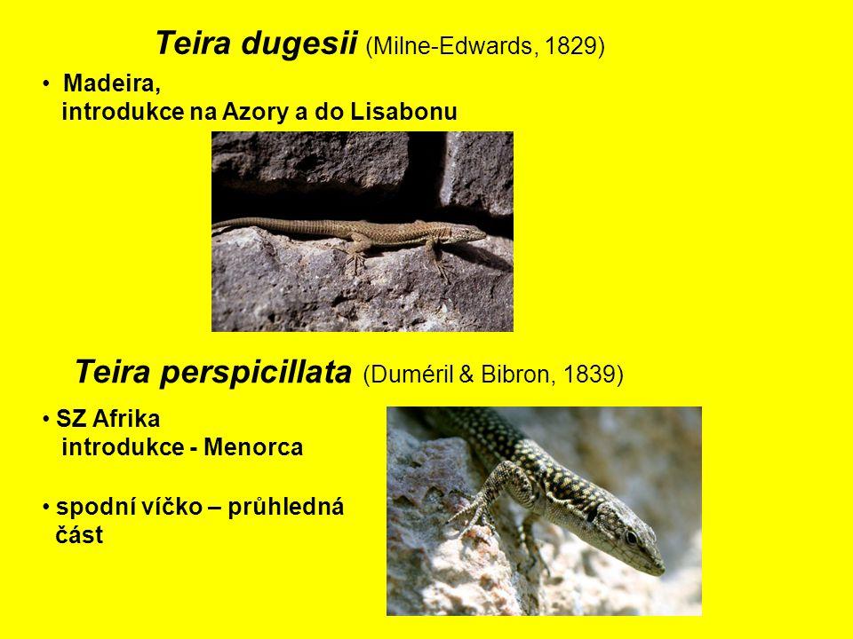 Teira dugesii (Milne-Edwards, 1829) Madeira, introdukce na Azory a do Lisabonu SZ Afrika introdukce - Menorca Teira perspicillata (Duméril & Bibron, 1839) spodní víčko – průhledná část