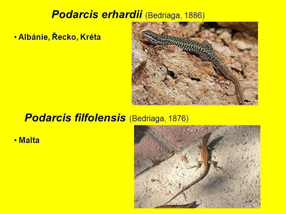 Podarcis erhardii (Bedriaga, 1886) Albánie, Řecko, Kréta Malta Podarcis filfolensis (Bedriaga, 1876)