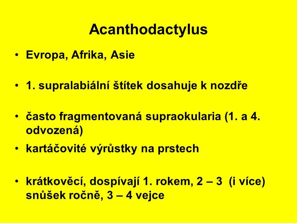 Acanthodactylus Evropa, Afrika, Asie kartáčovité výrůstky na prstech 1.