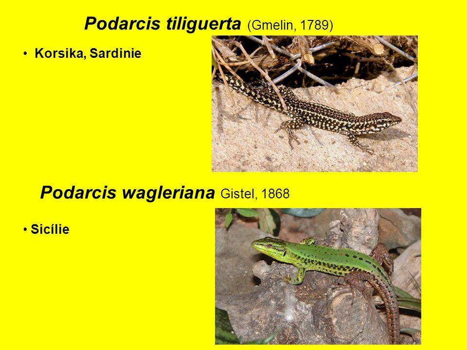 Podarcis tiliguerta (Gmelin, 1789) Korsika, Sardinie Sicílie Podarcis wagleriana Gistel, 1868