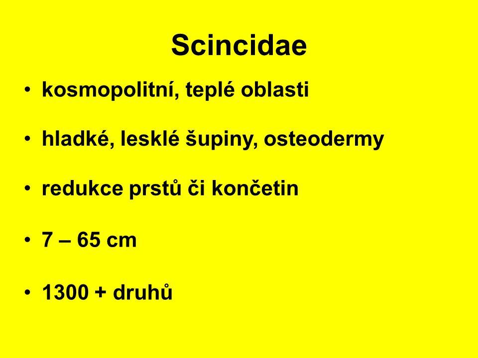 Scincidae kosmopolitní, teplé oblasti 7 – 65 cm hladké, lesklé šupiny, osteodermy 1300 + druhů redukce prstů či končetin