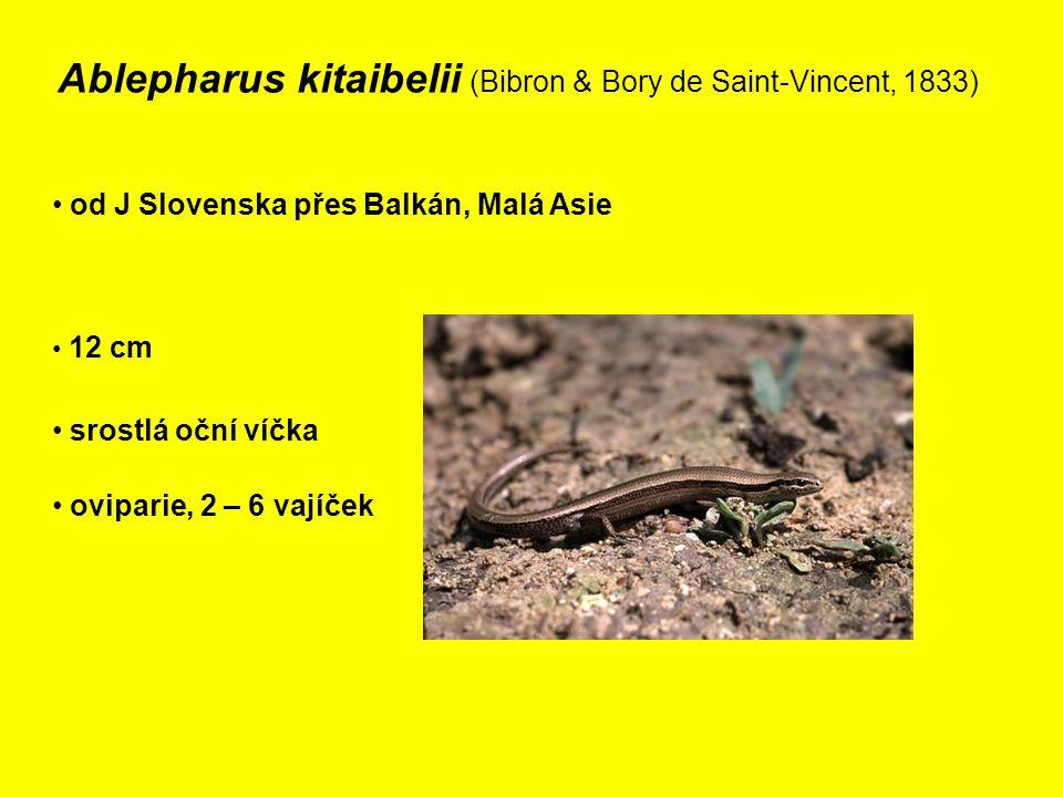 Ablepharus kitaibelii (Bibron & Bory de Saint-Vincent, 1833) od J Slovenska přes Balkán, Malá Asie 12 cm srostlá oční víčka oviparie, 2 – 6 vajíček