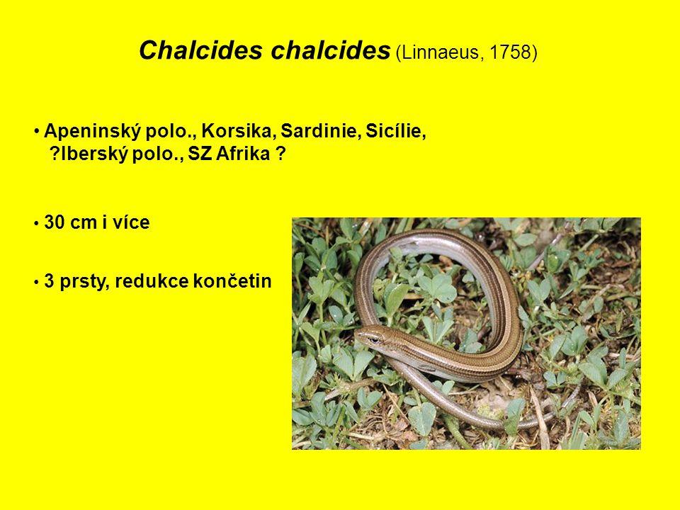 Chalcides chalcides (Linnaeus, 1758) Apeninský polo., Korsika, Sardinie, Sicílie, ?Iberský polo., SZ Afrika .