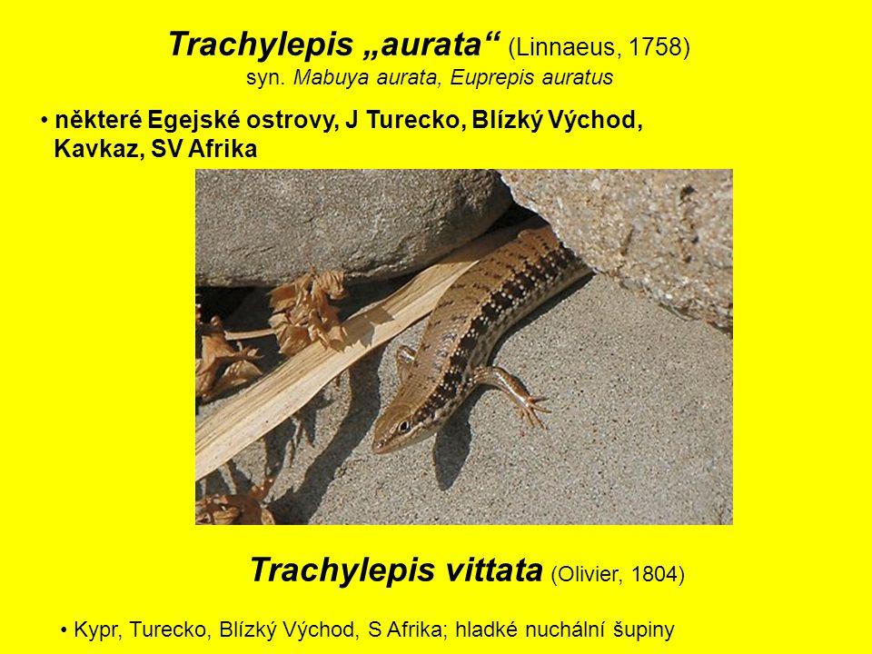 """Trachylepis """"aurata (Linnaeus, 1758) syn."""