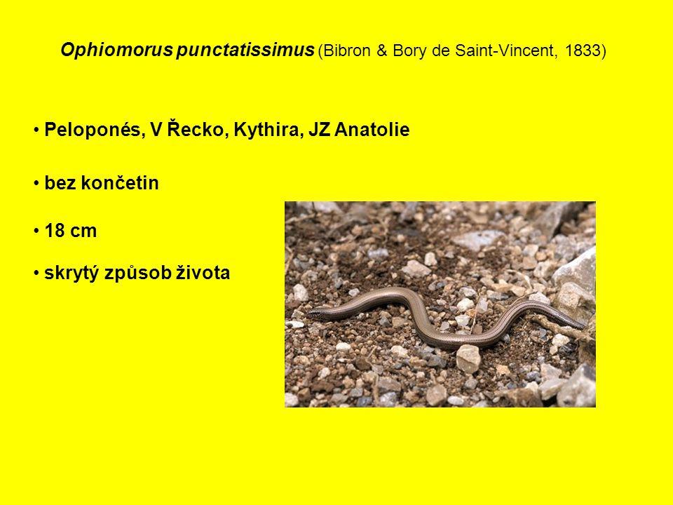 Ophiomorus punctatissimus (Bibron & Bory de Saint-Vincent, 1833) Peloponés, V Řecko, Kythira, JZ Anatolie bez končetin 18 cm skrytý způsob života